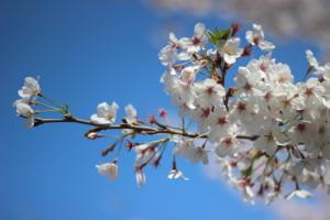 Sakura, laghetto Eur