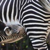 Al Bioparco di Roma è nata una ZEBRA REALE, la specie più minacciata fra le zebre.