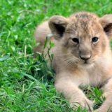 Le due leoncine del Bioparco si chiamano Aasha e Naisha