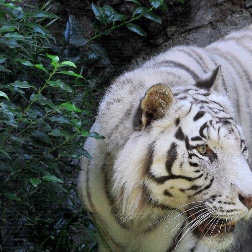 Insieme per salvare le tigri al Bioparco